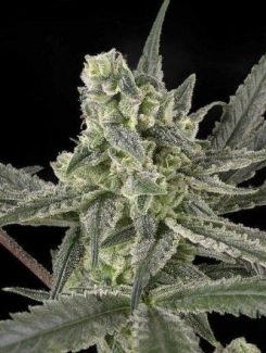 Ripper Seeds Old School 3Und Fem