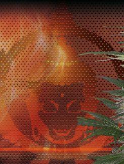Red Dwarf Blister Auto (50 Semillas) Buddha Seeds