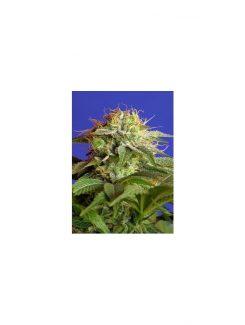 Sweet Seeds Green Poison Fem (3+1 Semillas)