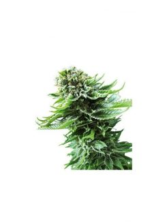 Northern Lights Automatic(3 semillas) Sensi Seeds Automaticas