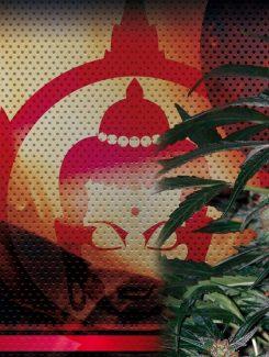 Deimos Auto (3 Semillas) Buddha Seeds
