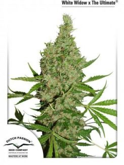 Dutch Passion White Widow x The Ultimate Reg (10 Semillas)