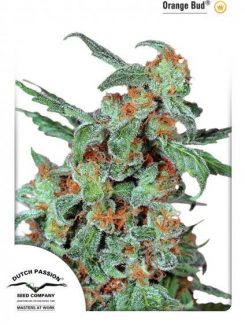 Dutch Passion Orange Bud Reg (10 Semillas)