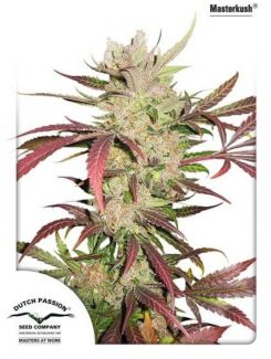 Dutch Passion Masterkush Reg (10 Semillas)