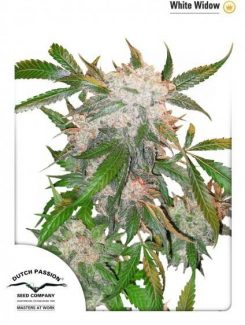 Dutch Passion White Widow Reg (10 Semillas)