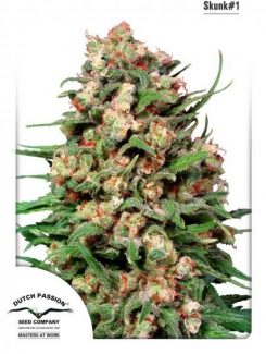 Dutch Passion Skunk 1 Reg (10 Semillas)