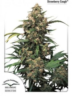 Duch Passion Strawberry Cough Fem (3 Semillas)