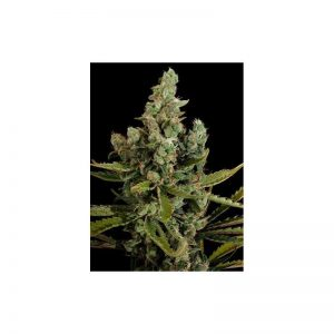 Cheese Fem (10 Semillas) Dinafem