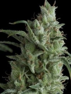 Pyramid Seeds Fem Kryptonite (3 Semillas)
