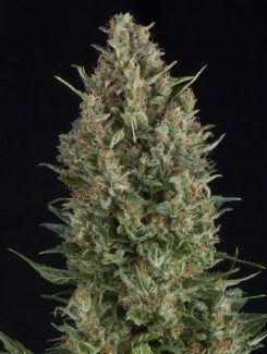 Pyramid Seeds Fem Wembley (1 Semilla)