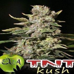 Eva Seeds Tnt Kush Fem (3 Semillas)