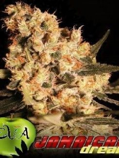 Eva Seeds Jamaican Dream Fem (3 Semillas)