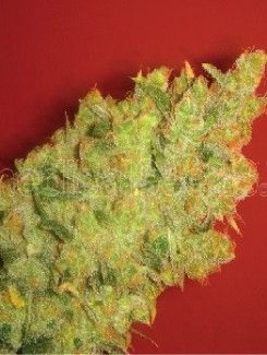 Medical Seeds Jack La Mota Fem (3 Semillas)
