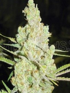 Medical Seeds 1024 Fem (10 Semillas)