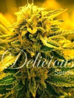 Delicious Seeds Sugar Black Rose Auto (10 Semillas)