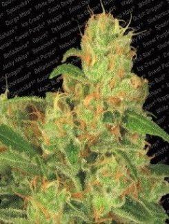 Paradise Seeds Acid Auto (5 Semillas)