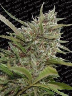 Paradise Seeds White Berry Auto (10 Semillas)