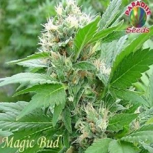 Paradise Seeds Magic Bud Fem (3 Semillas)