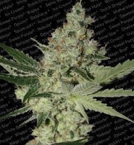 Paradise Seeds Acid Fem (3 Semillas)