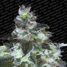 Paradise Seeds Original White Widow Fem (3 Semillas)