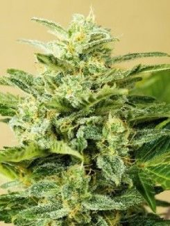 Advanced Seeds Auto Low Girl (3 Semillas)