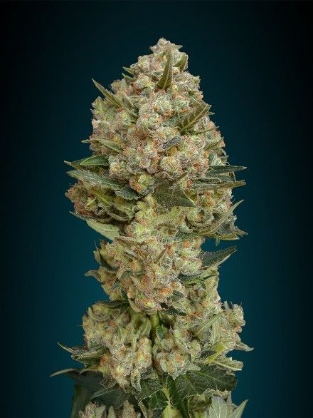 Advanced Seeds Critical Fem (1 Semilla)