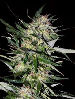 Advanced Seeds Jack Plant Fem (10 Semillas)