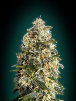 Advanced Seeds Heavy Bud Fem (10 Semillas)