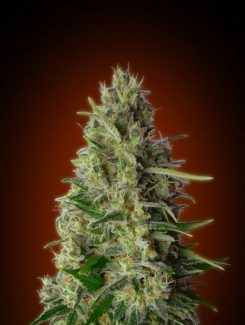 Advanced Seeds Kali 47 Fem (3 Semillas)