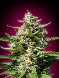 Advanced Seeds White Kush Fem (1 Semilla)
