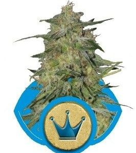 Royal Queen Royal Highness Fem (10 Semillas)