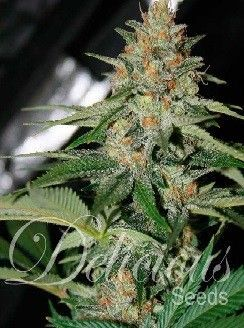 Delicious Seeds Cheese Candy Fem (1 Semilla)