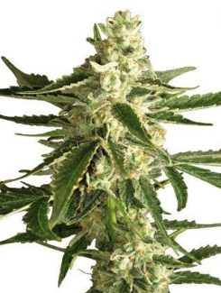 Sensi White Label White Diesel Haze Auto (3 Semillas)