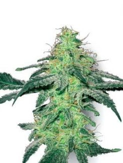Sensi White Label White Skunk Fem (3 Semillas)