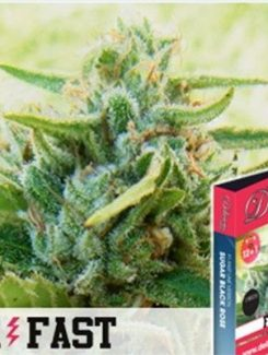 Delicious Seeds Sugar Black Rose F1 Fast Fem (1 Semilla)