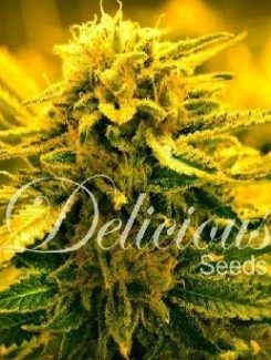 Delicious Seeds Sugar Black Rose Auto (3 Semillas)