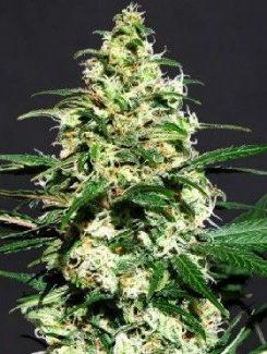 Kannabia Seeds Amnesi-K Fem (1 Semilla)