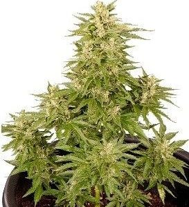 Smoking Hard Seeds Double Cryt Auto (1 Semilla)