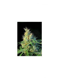 Sweet Seeds Psicodelicia Fem (3+1 Semillas)