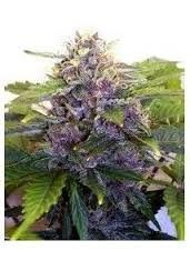 Joint Doctor´s Purple Ryder Reg (10 Semillas)