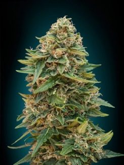 Seeds Of Life Sol Haze Fem (5 Semillas)