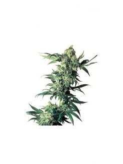Northern Lights Regular(10 semillas) Sensi Seeds Regulares