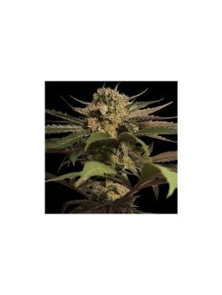 Violator Kush Fem (5 Semillas) Barneys Farm