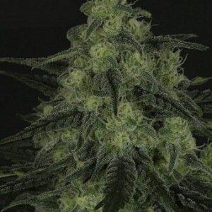 Ripper Seeds Black Valley 3Und Fem