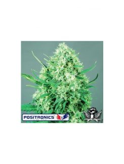 Positronics Jack Diesel Fem (1 Semilla)