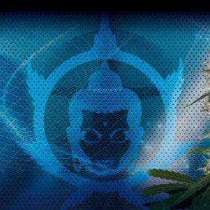 Pulsar Blister Fem (50 Semillas) Buddha Seeds