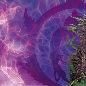Purple Kush Blister Auto (10 Semillas) Buddha Seeds