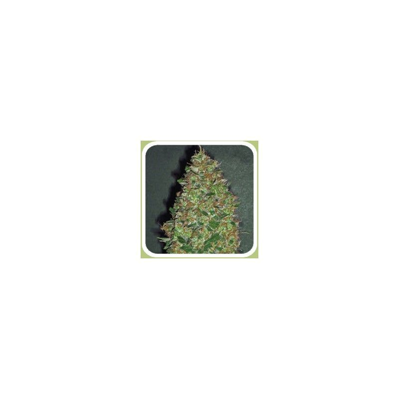 Chocolate Skunk Fem(5 semillas) 00 Seeds Feminizadas