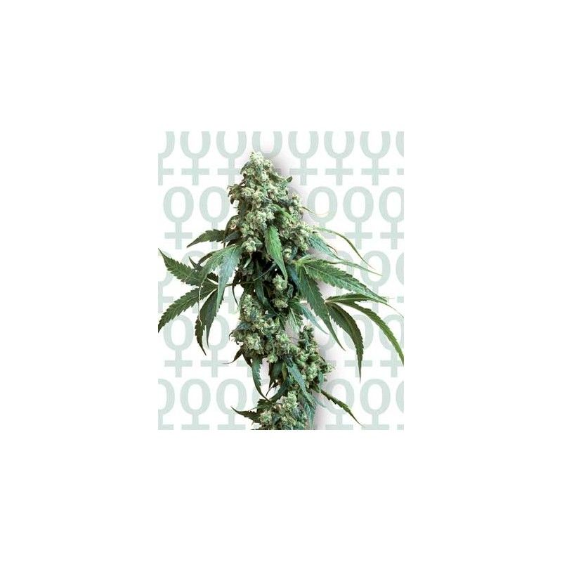 Jack Flash 5 Fem. (10 semillas) Sensi Seeds Feminizadas