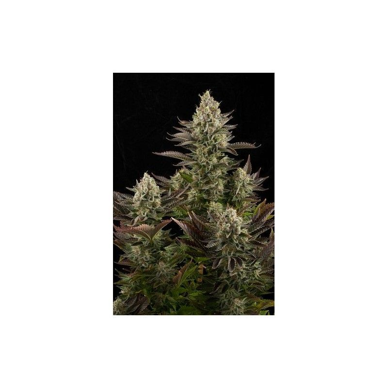 White Widow Fem (1 Semilla) Dinafem
